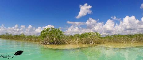 Mangrove sur le lac de Bacalar, au-dessus des stromatolithes