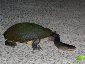 tortue d'eau douce à long cou