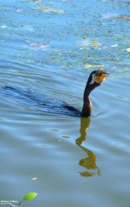 L'observatoire permet de s'avancer sur l'étang et il est alors plus facile d'observer les oiseaux pêcher. Ici c'est un Anhinga d'Australie (Anhinga novaehollandiae)