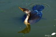 Cormoran pie (Microcarbo melanoleucos) entre deux pêches