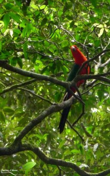 Australian king parrot - Perruche royale (Alisterus scapularis)