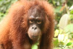 Orang-outang à quelques cm de nous