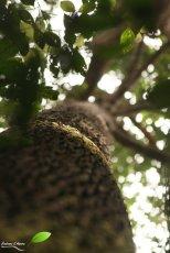 Les grands arbres de la forêt de Sepilok