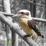 Rencontre avec un Kookaburra