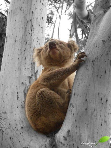 Koala perché