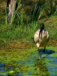 Ibis à cou noir (Threskiornis moluccus)