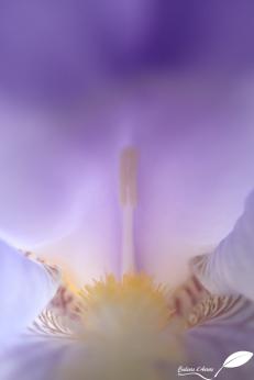 Cœur d'iris