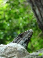 Un iguane, habitant actuel du secteur.