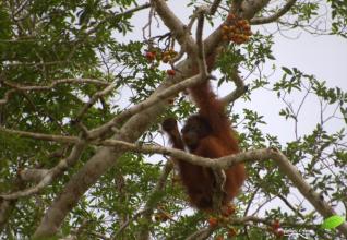 Orang-outang en pleine collation