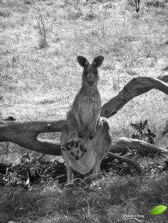 Rencontre avec une maman et un bébé kangourou