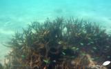 Demoiselles se cachant dans le corail branchu