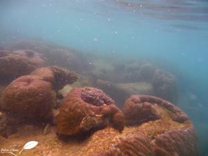 La plus grosse patate de corail, à Turquoise bay!