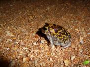 Amphibien aperçu la nuit.