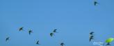 Ballet de perroquets verts