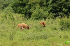 Vaches Highland, participant à la gestion des milieu