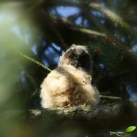 Poussin hibou moyen-duc recouvert de duvet