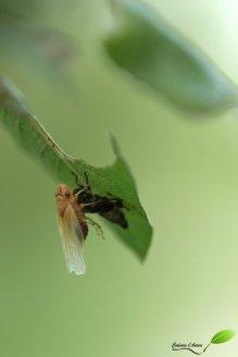 Cicadelle en train de sortir de sa mue